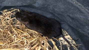 Protecting Water Voles (2017)